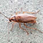 Fumigación de Cucarachas